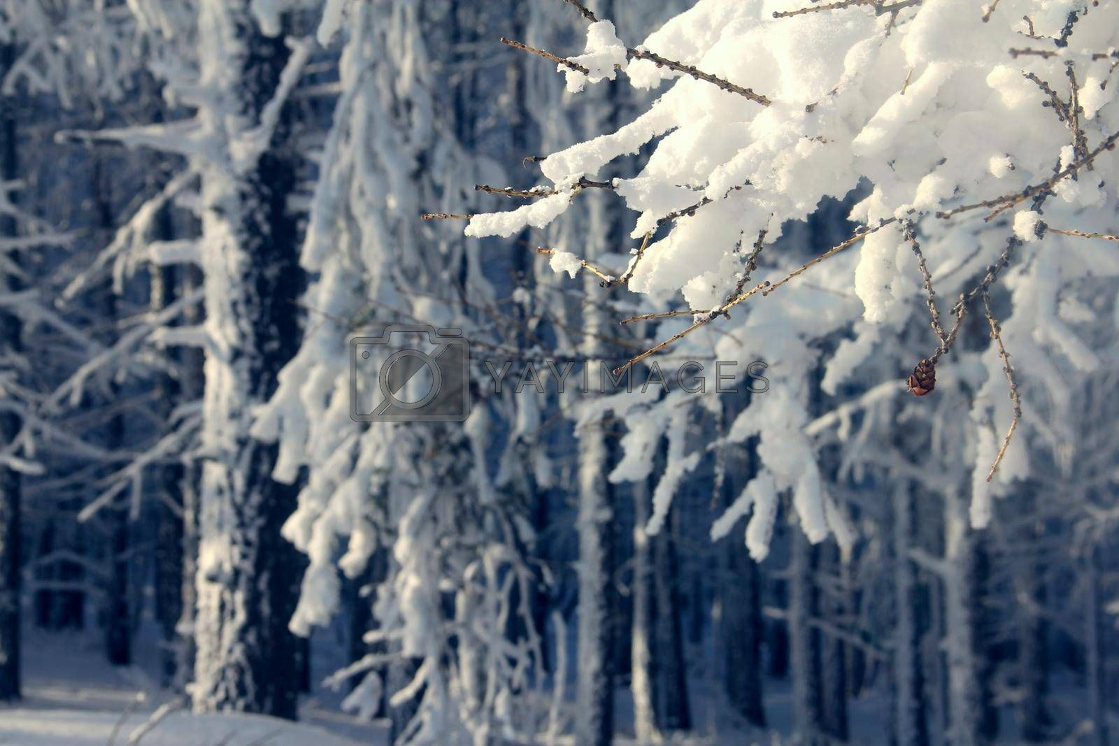 Sunny winter Coniferous Forest Landscape view background Travel serene scenic view