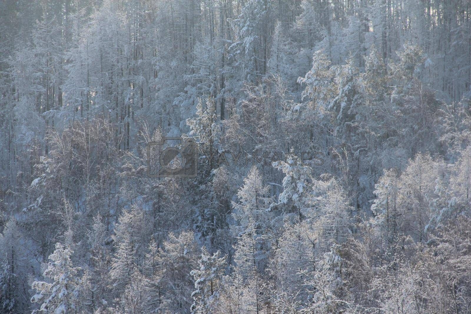 Sunny winter birch Forest Landscape aerial view background Travel serene scenic view