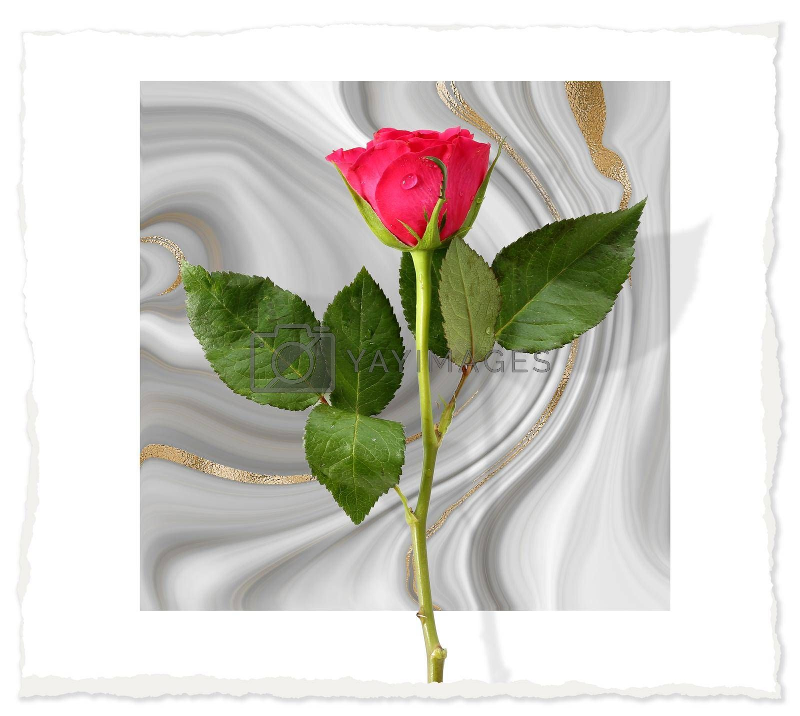 Red rose flower on pastel grey white marble background. Flowers for holiday cards, mother's day, 8 March, birthday, wedding, Valentine's Day. Beautiful flower arrangement. Top view, flat lay