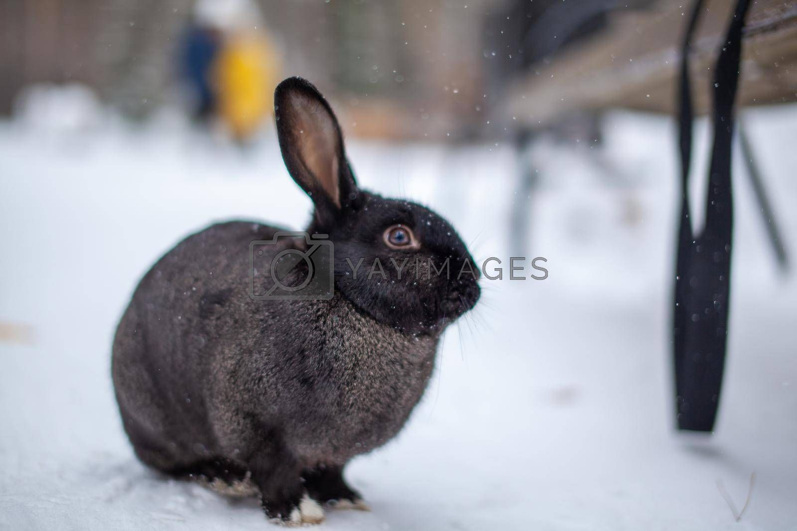 Beautiful, fluffy black rabbit in winter in the park. The rabbit sits waiting for food.