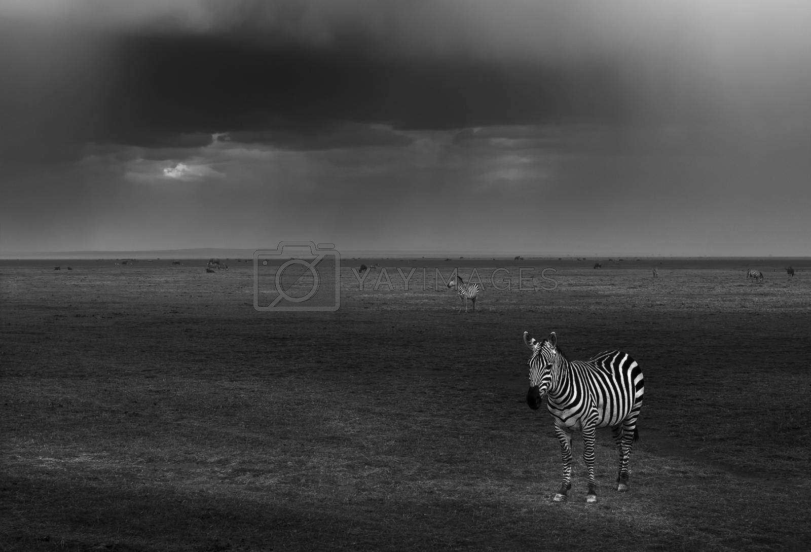 Black and White Photo of a Zebras Grazing in the Field. Beautiful Striped Wild Ungulate Animals. Game Drive. Safari in Kenya. Africa.