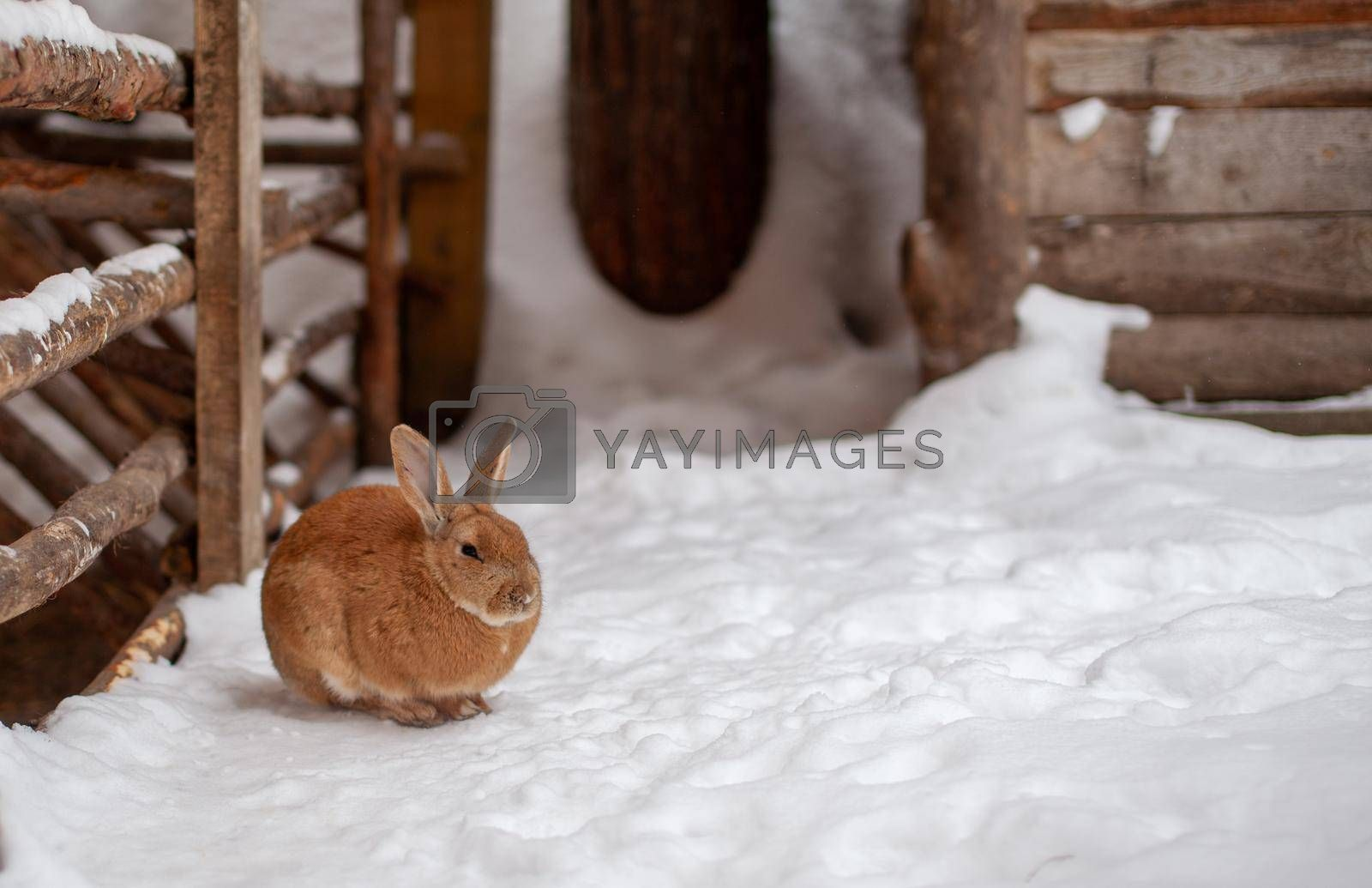 Beautiful, fluffy red rabbit in winter on the farm. The rabbit sits waiting for food.