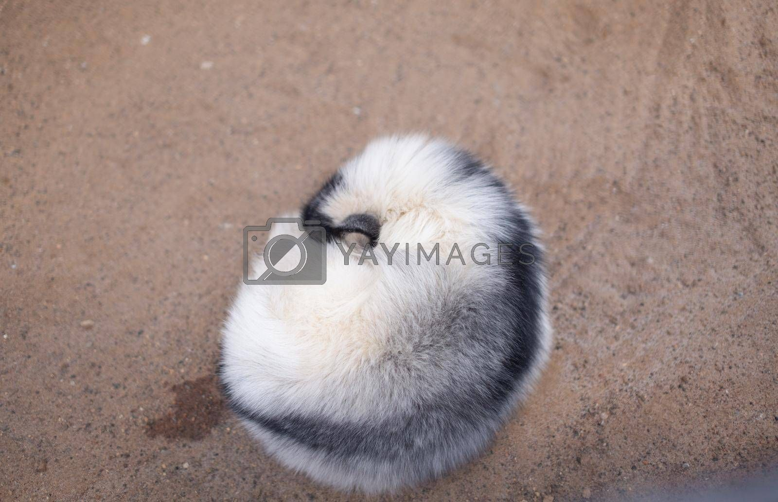 Beautiful, fluffy white fox in the zoo. A wild animal in an animal shelter.