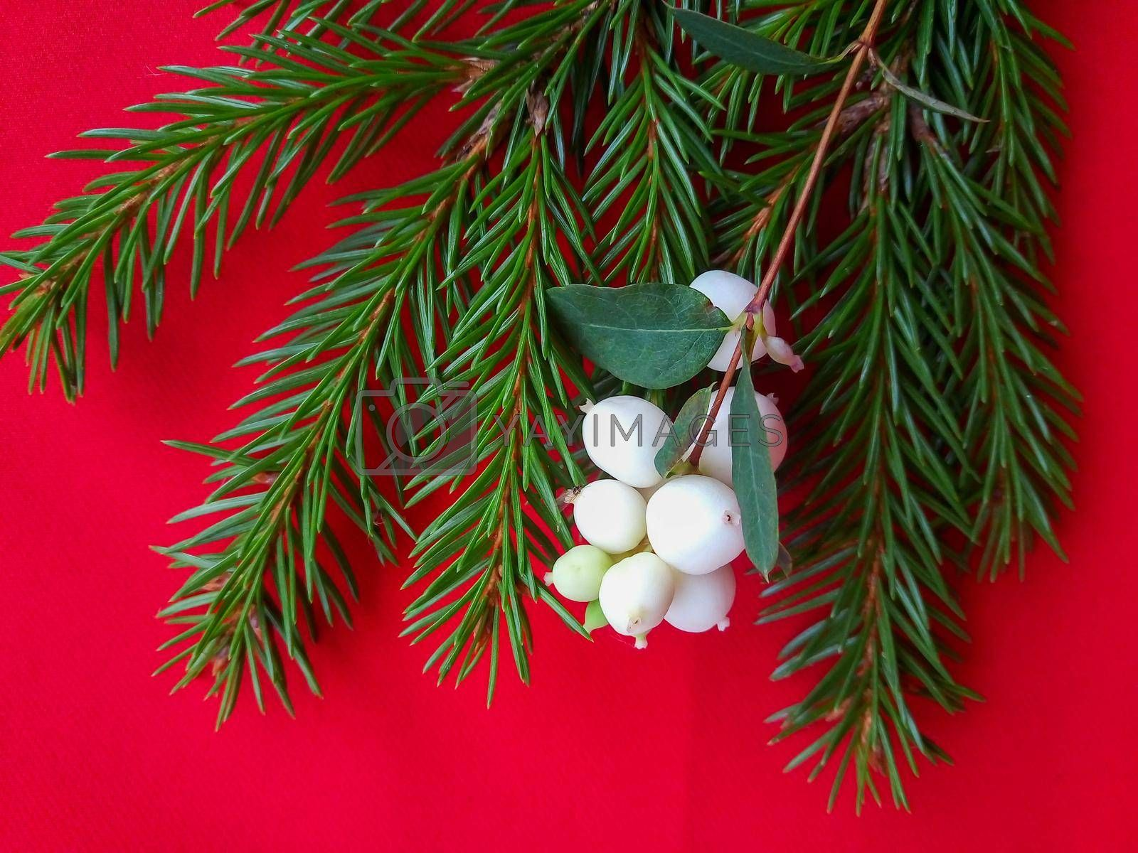 Spruce green branch with white berries on a red background.