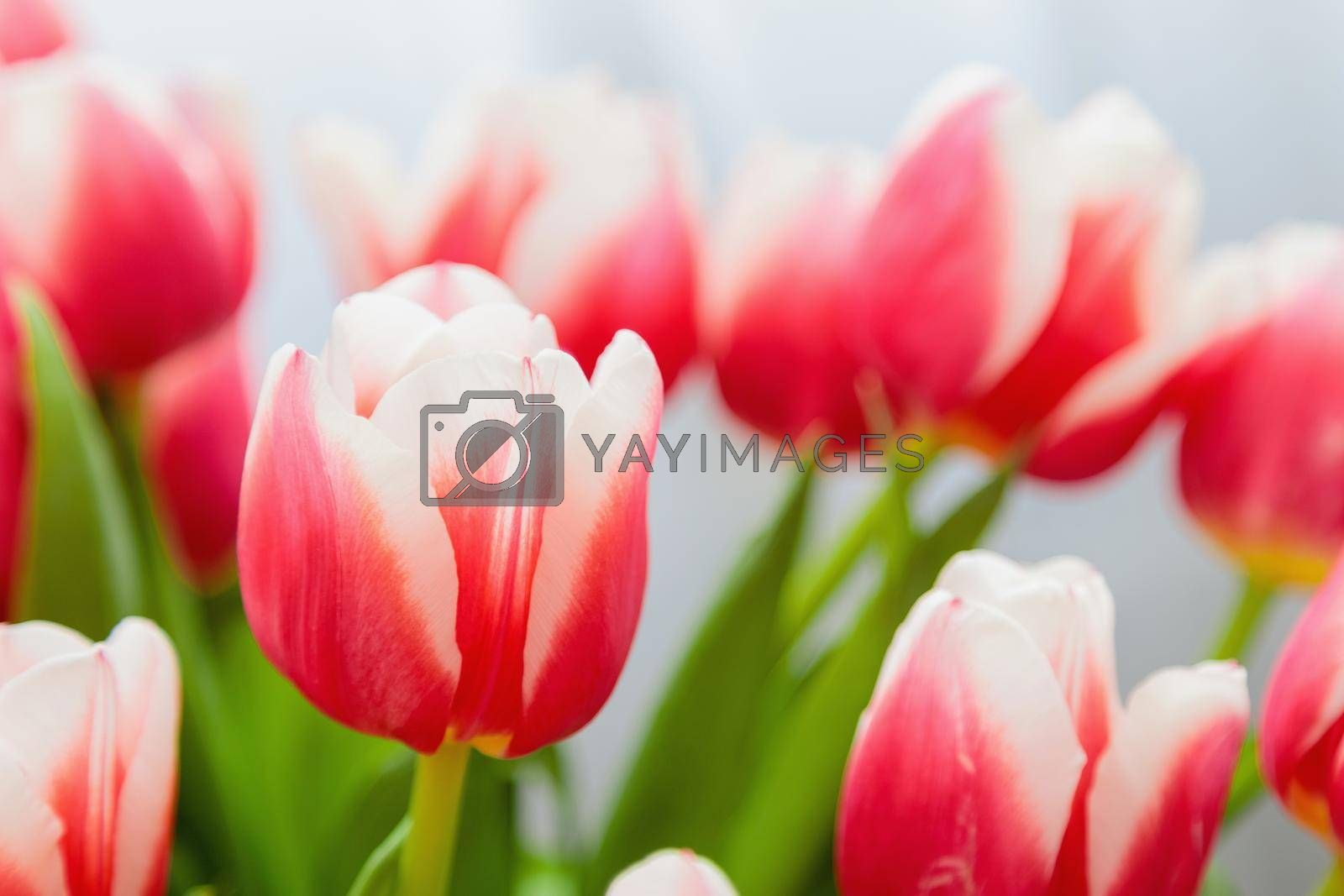 Red and white bud of a blooming tulip. Macro photography inside. Change of focus, close-up.