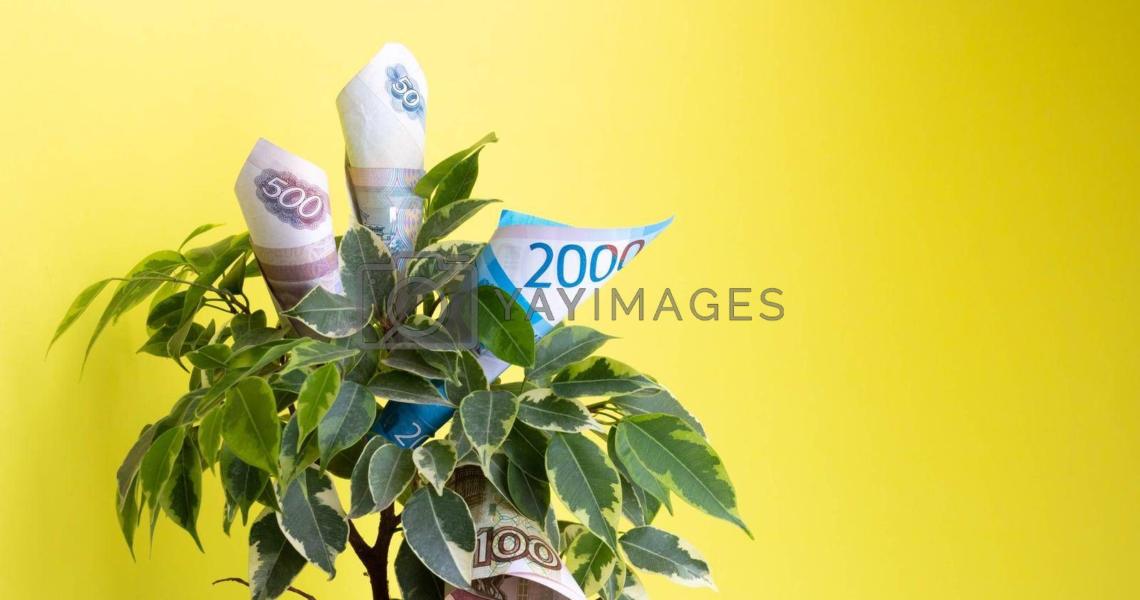 Ruble bills lie in a green ficus on a yellow background. The concept of money growth.