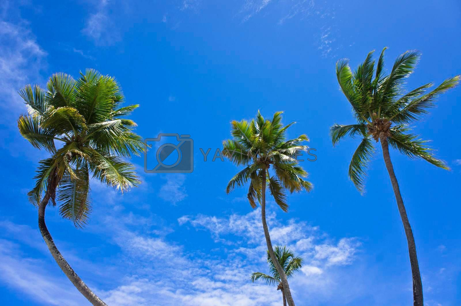 Pipa, Palms in Tropical beach, Natal, Brazil, South America