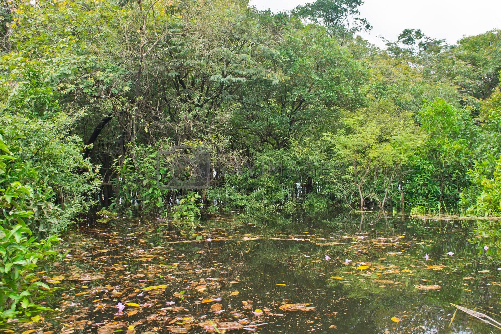 Amazon Basin swamp Brazil, South America