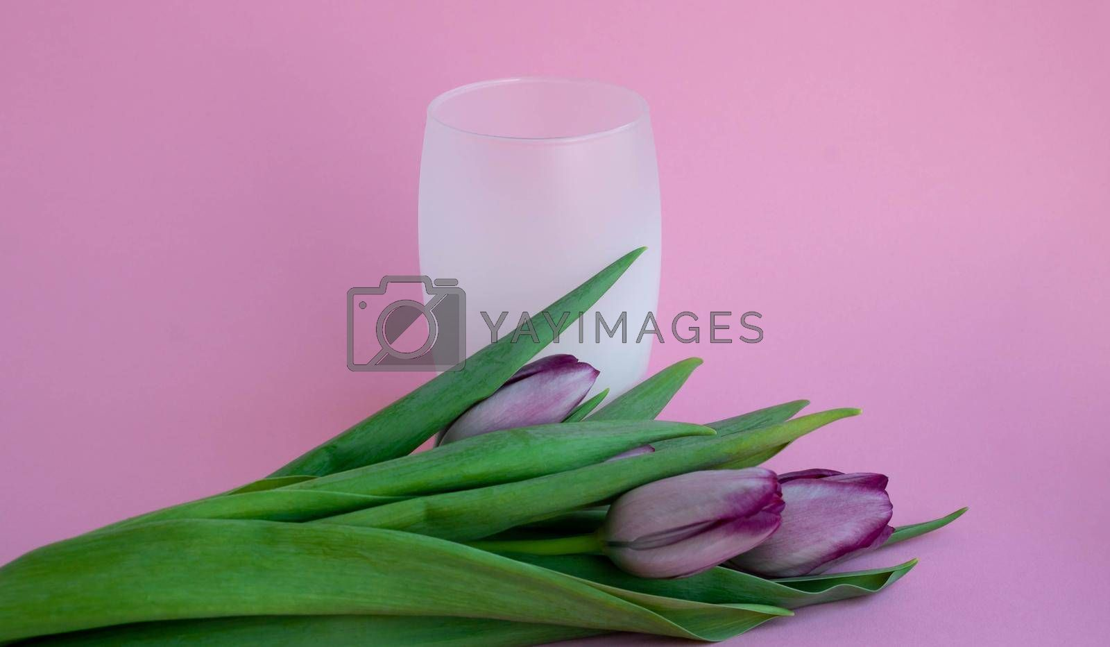 Tulips lie next to a white frosted drink glass on a pink background.