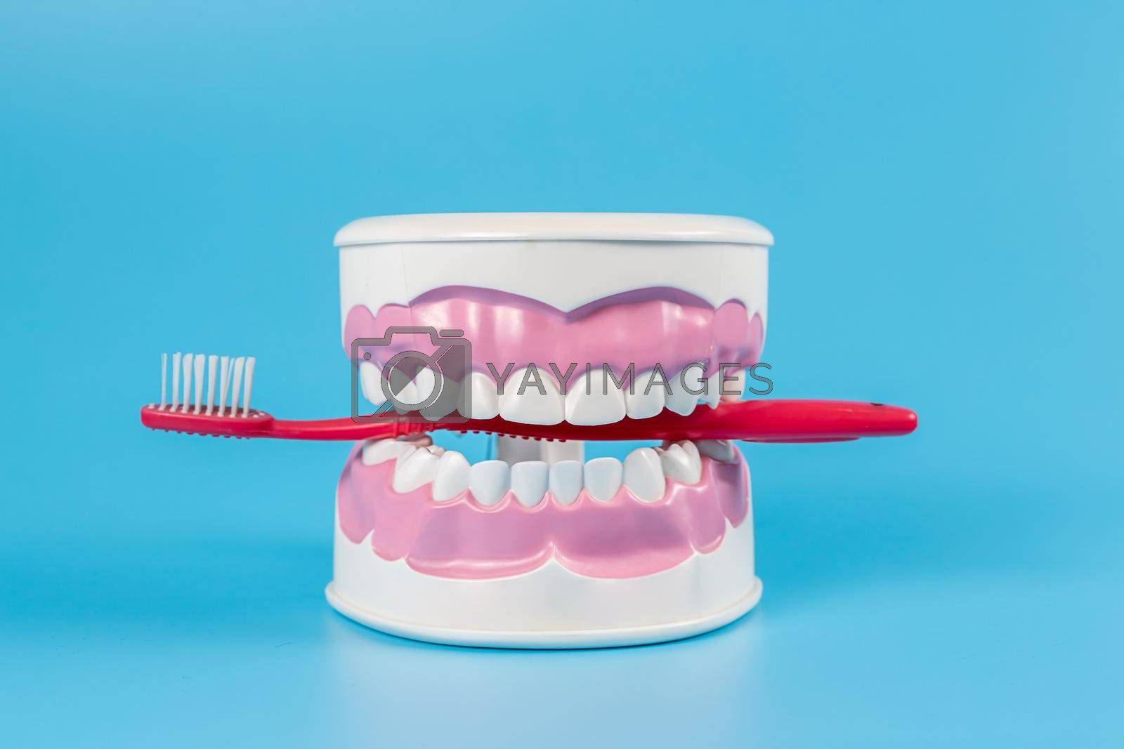 Clean teeth dental jaw model and red thooth brush on blue background. The concept of proper oral care, caries hygiene.