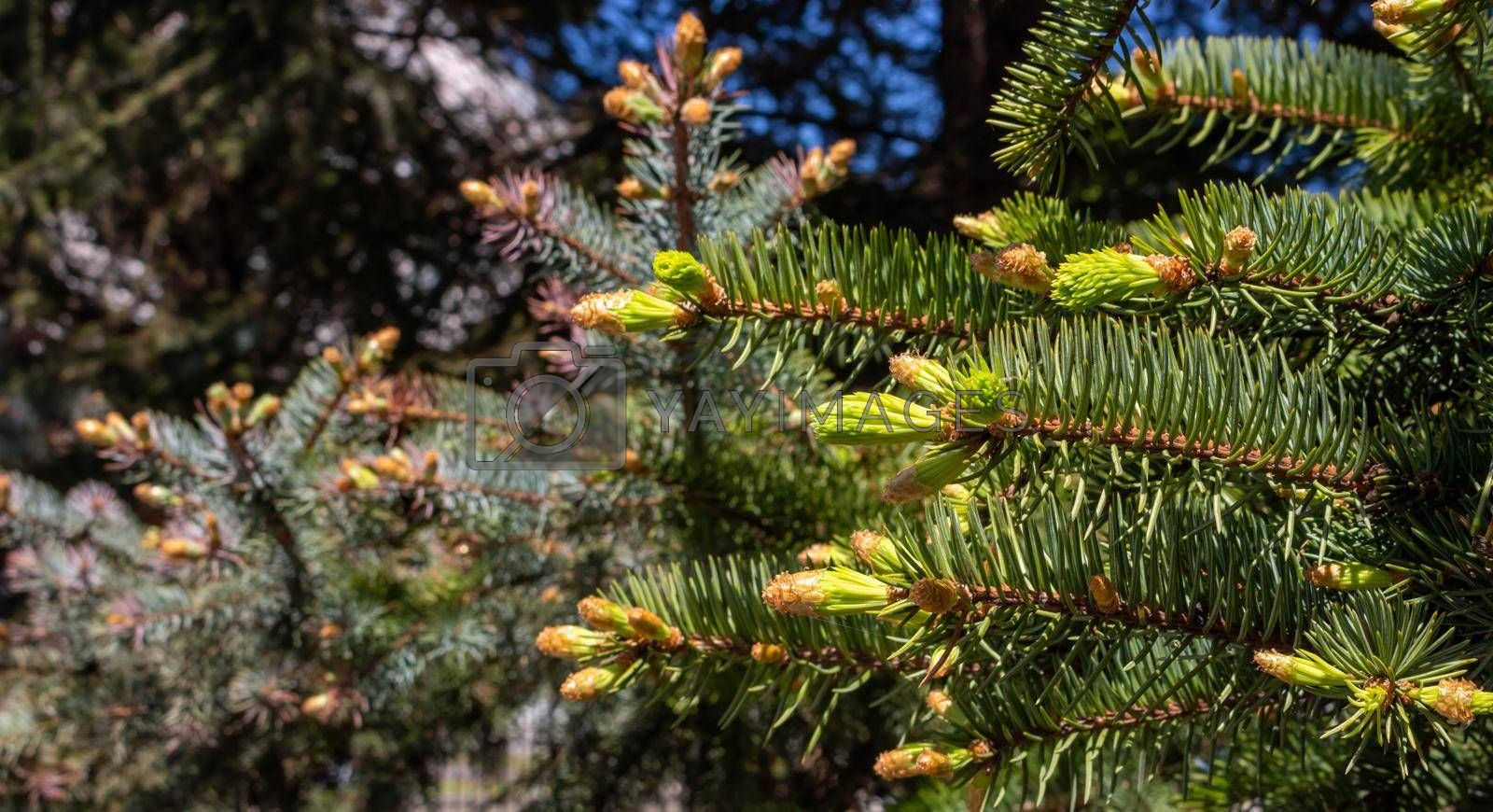 Young green shoots of spruce needles . Fresh-growing spruce shoots on a branch in the spring forest. Sprouts on a twig in the sunlight coniferous background.
