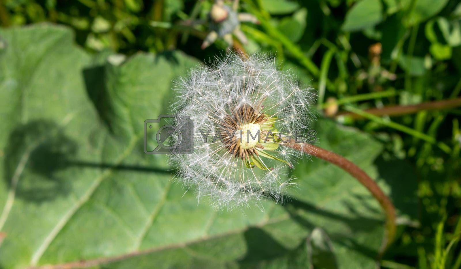 Dandelion on the background of green grass on a summer day.
