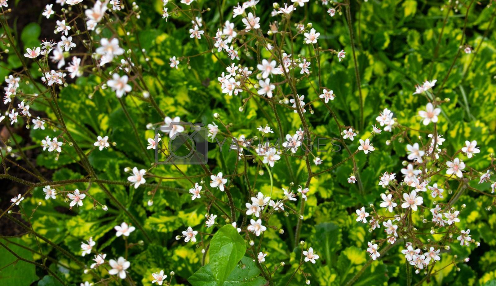 Small white flowers in field on green grass background. Soft focus.