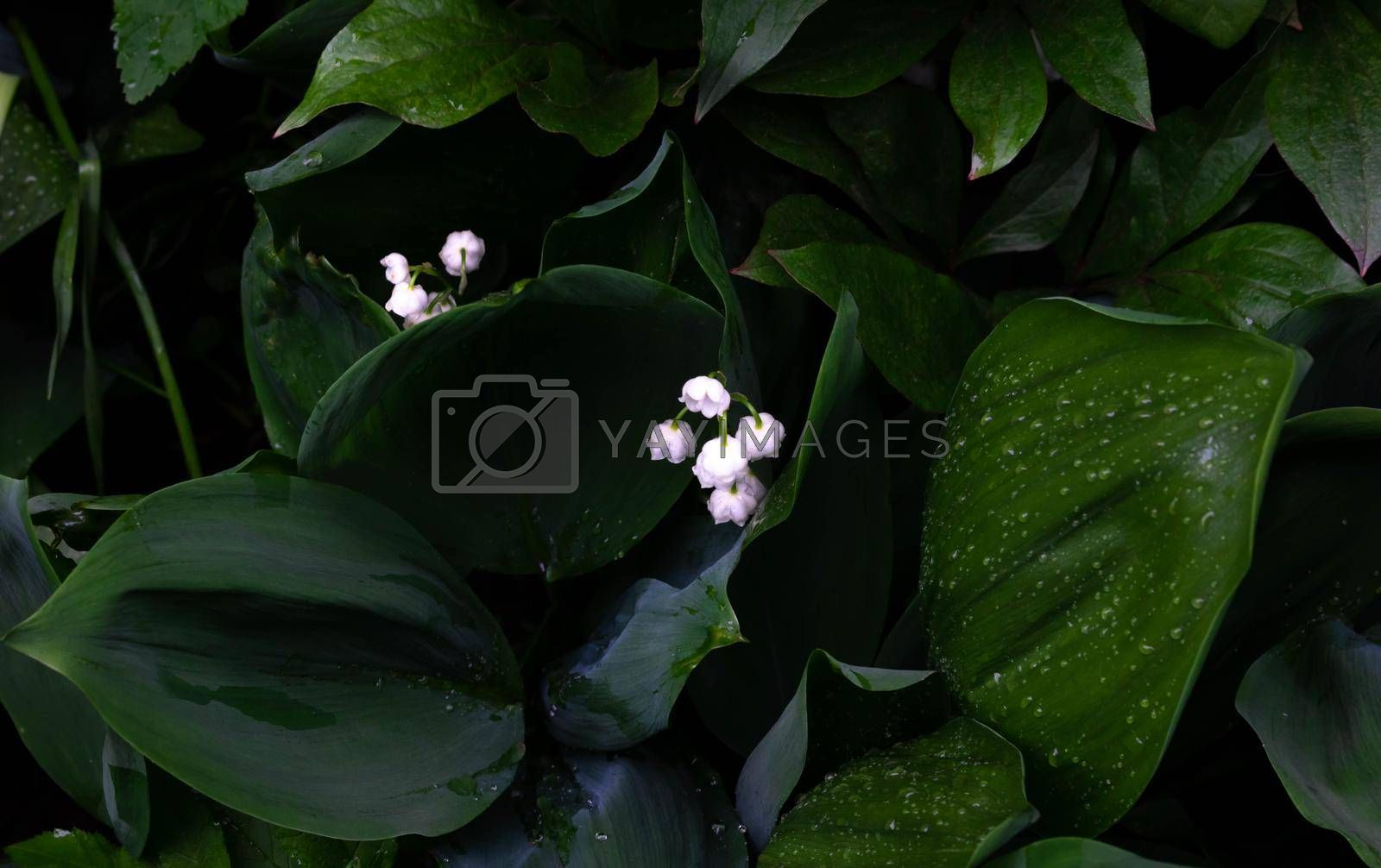 White flowers of the May lily of the valley on a background of green leaves