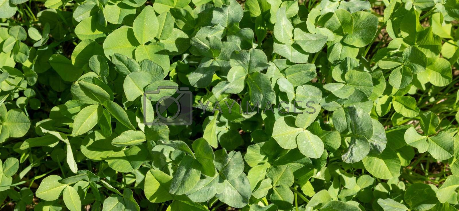 Green background of the four-leaf clover plant. An Irish traditional symbol. St. Patrick's Day.