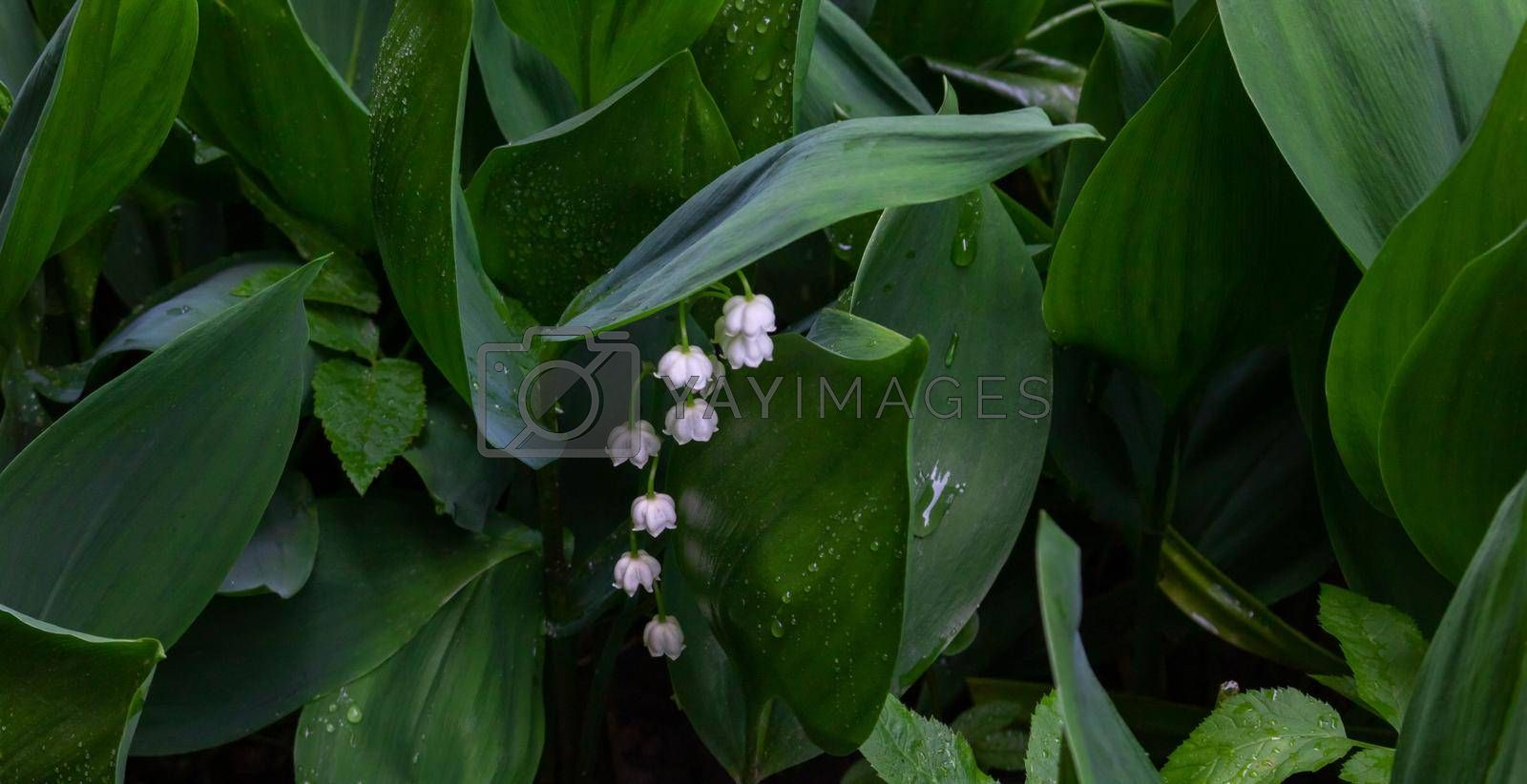 White flowers of the May lily of the valley on a background of green leaves.