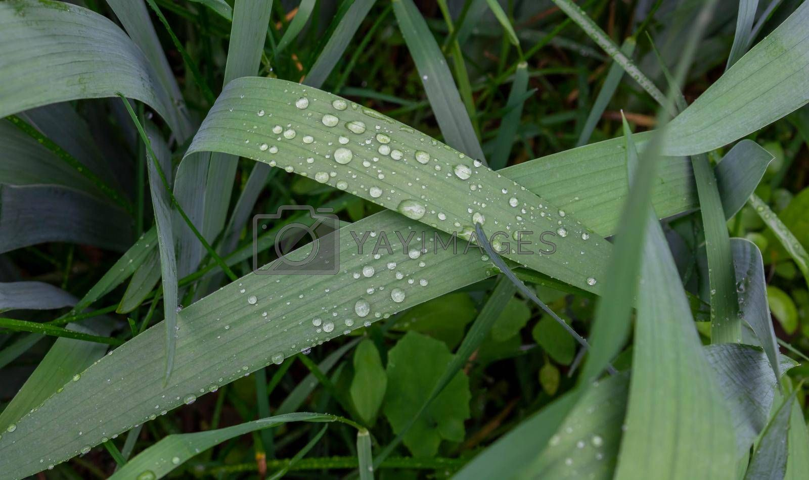 Dew drops on the grass in the early morning.