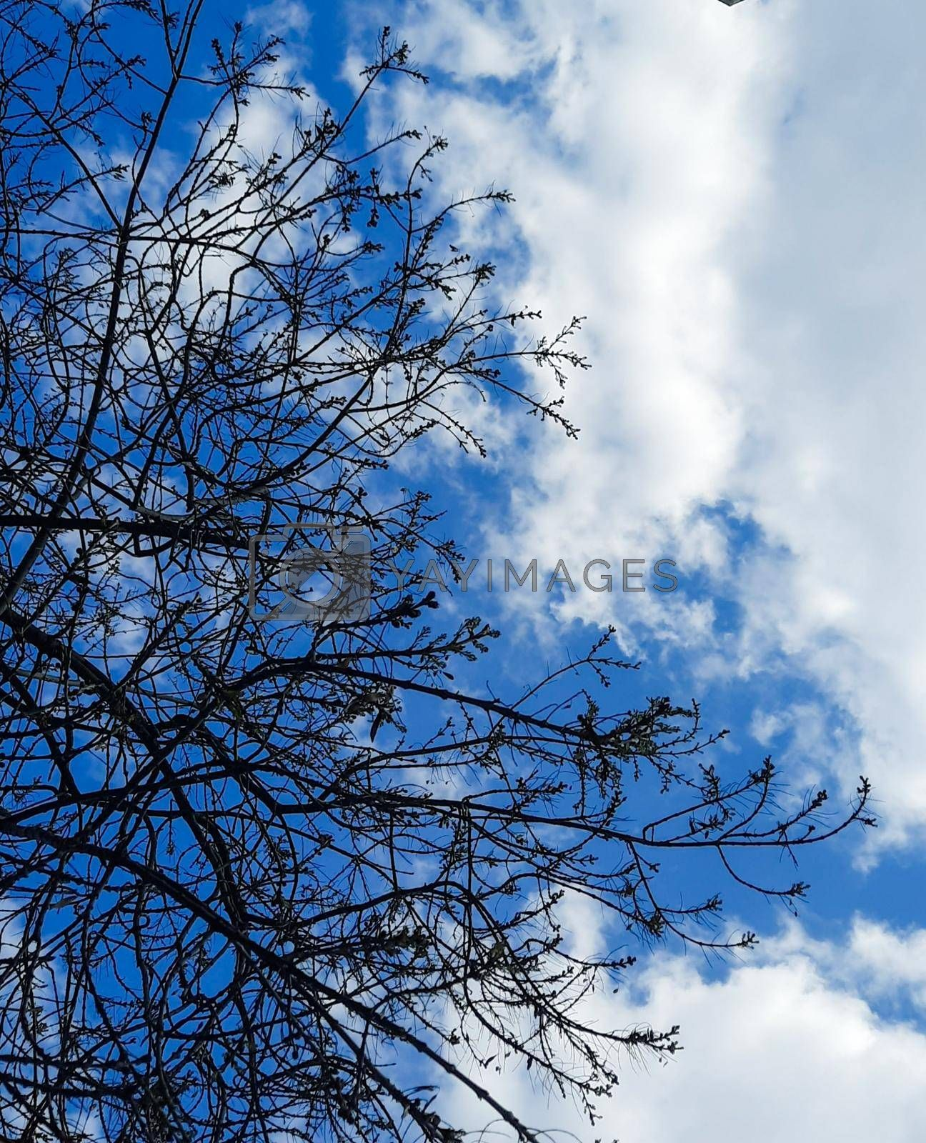 acer saccharum tree and white clouds all around in city