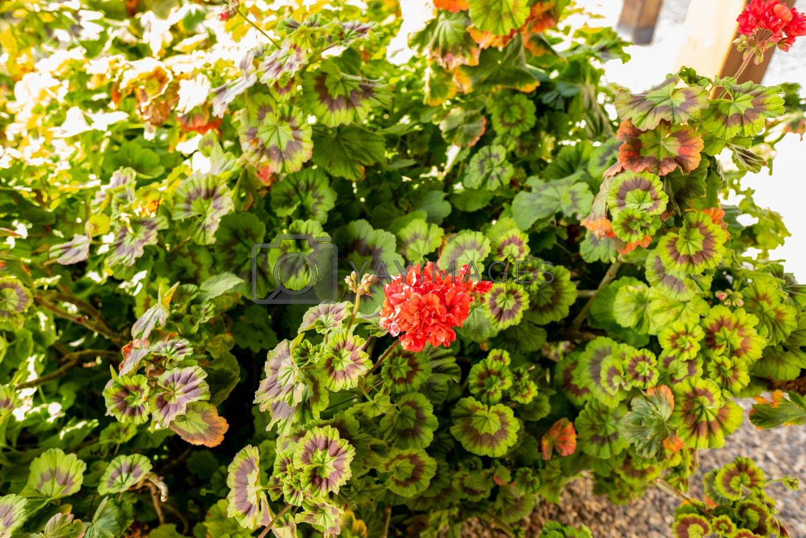 red genus of flowering plants in Izmir city of Turkey