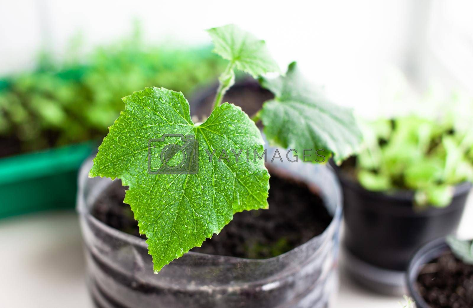 Seedlings of cucumbers and plants in flower pots near the window, a green leaf close-up. Growing food at home for an ecological and healthy lifestyle. Growing seedlings at home in the cold season