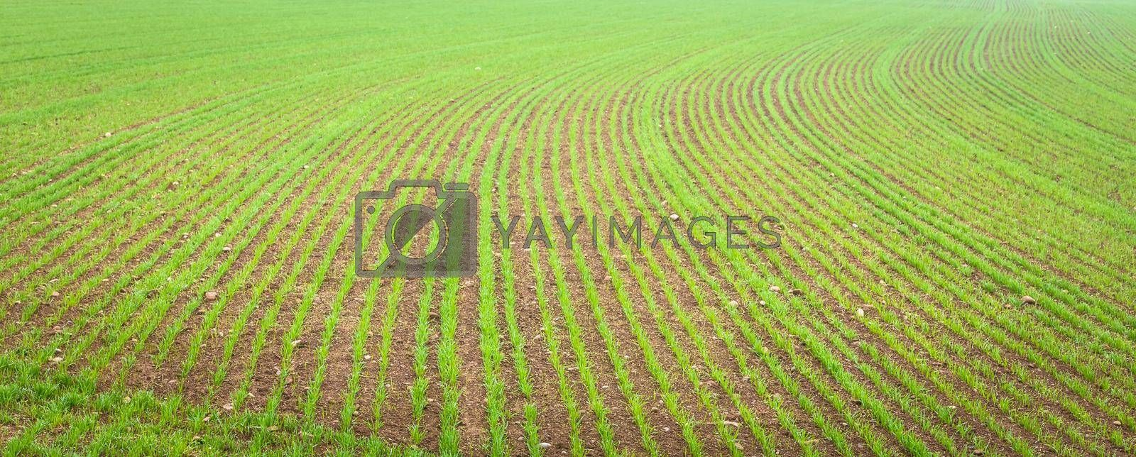 Natural environment background useful for concepts related to country and agriculture. Farmland detail with growing cultivation.
