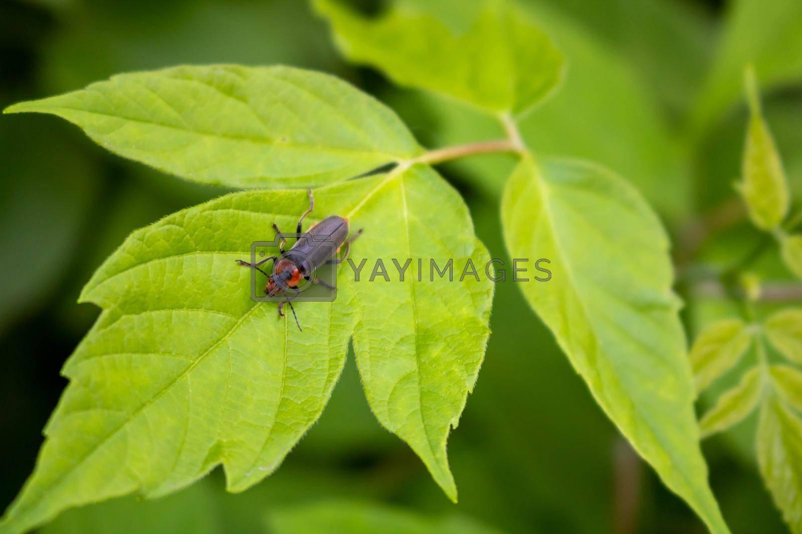 Fireman beetle on a green leaf.Summer day.