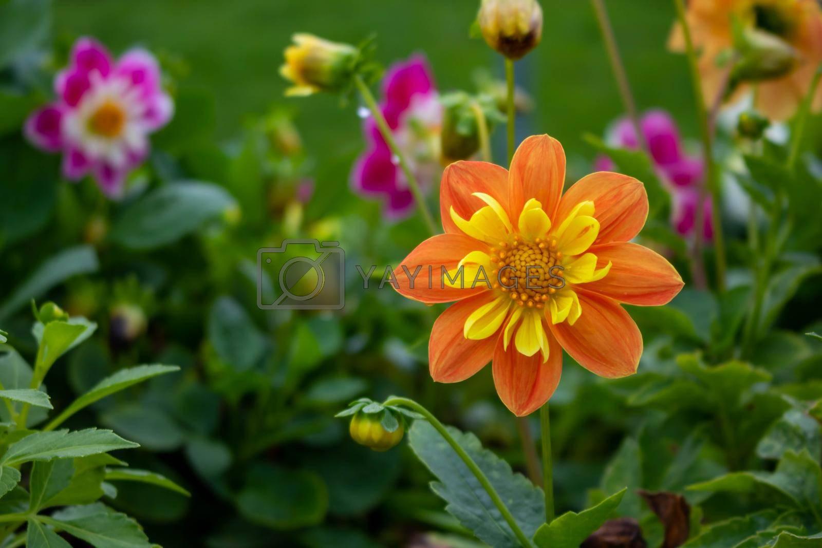 Royalty free image of Orange Dahlia on a green flower bed by lapushka62