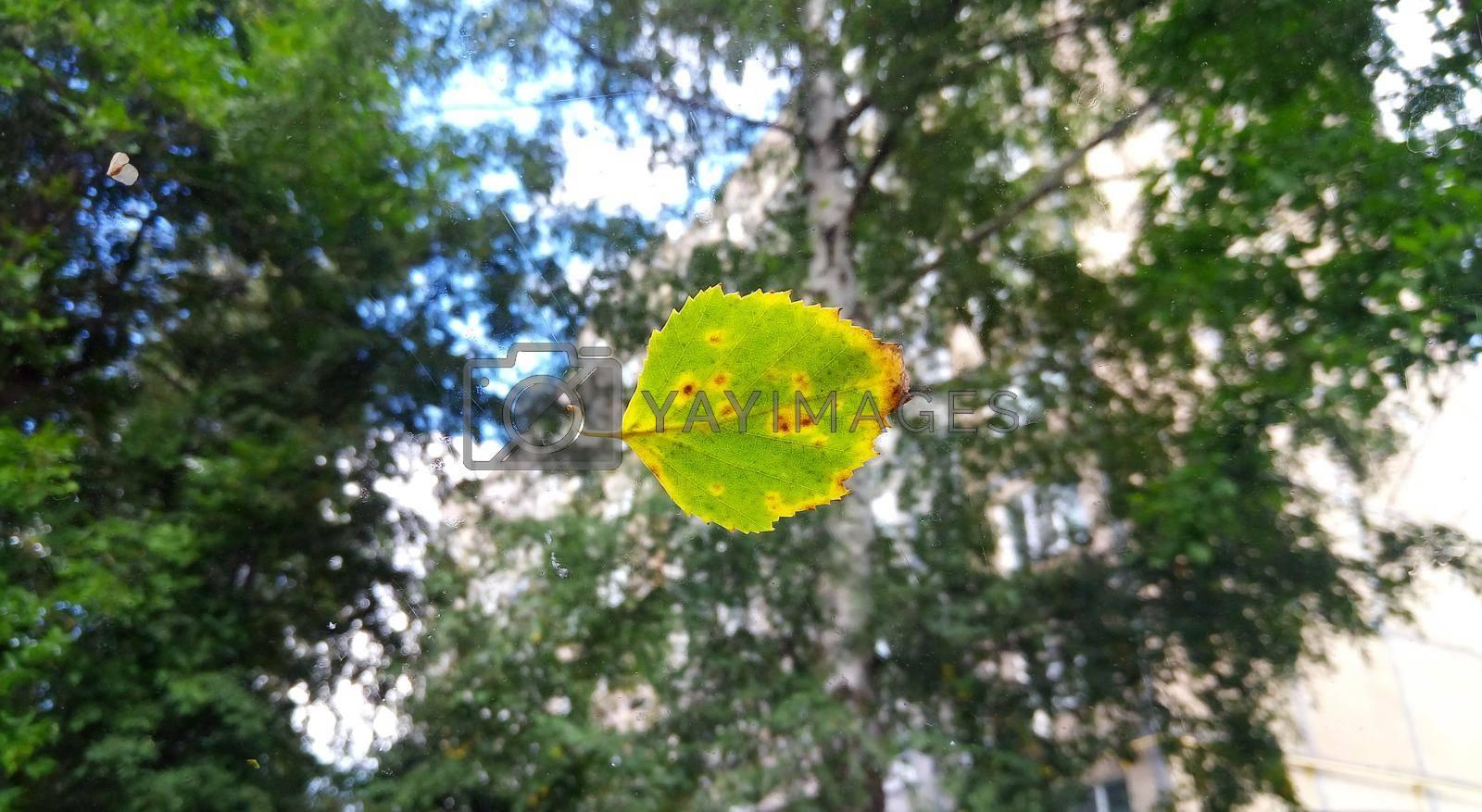 A fallen yellow leaf on a wet window.
