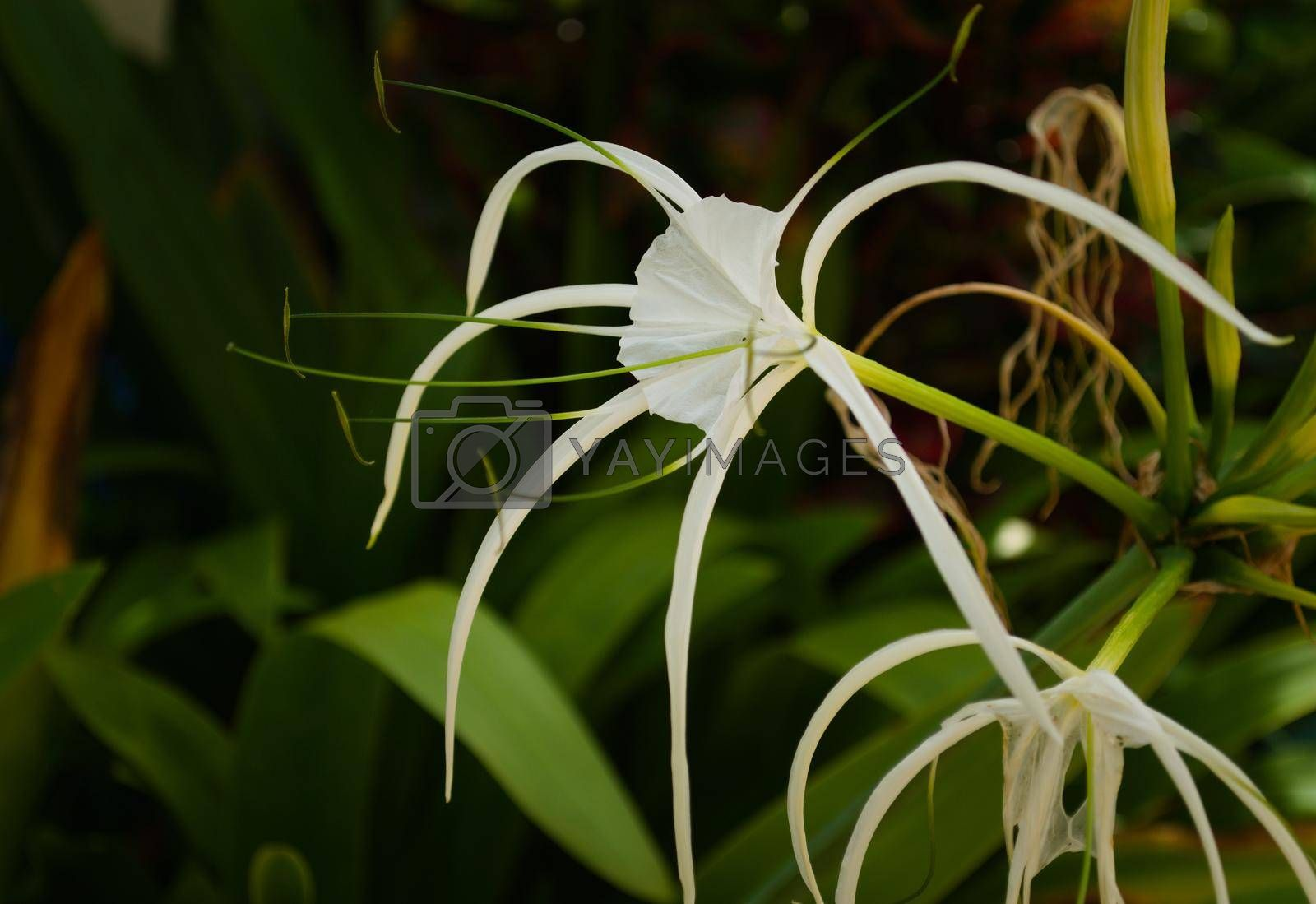 Royalty free image of Caribbean spider lily (Hymenocallis caribaea), close up of a specimen in a garden in Thailand. by hernan_hyper
