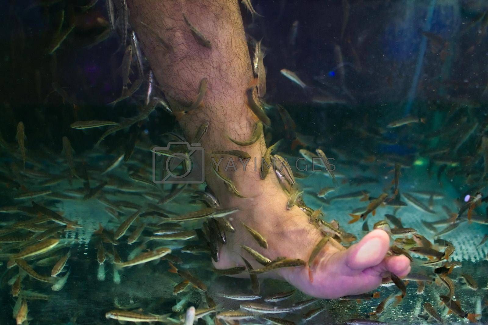 Royalty free image of Small fish cleaning a man's foot in a tank in Phuket, Thailand. by hernan_hyper