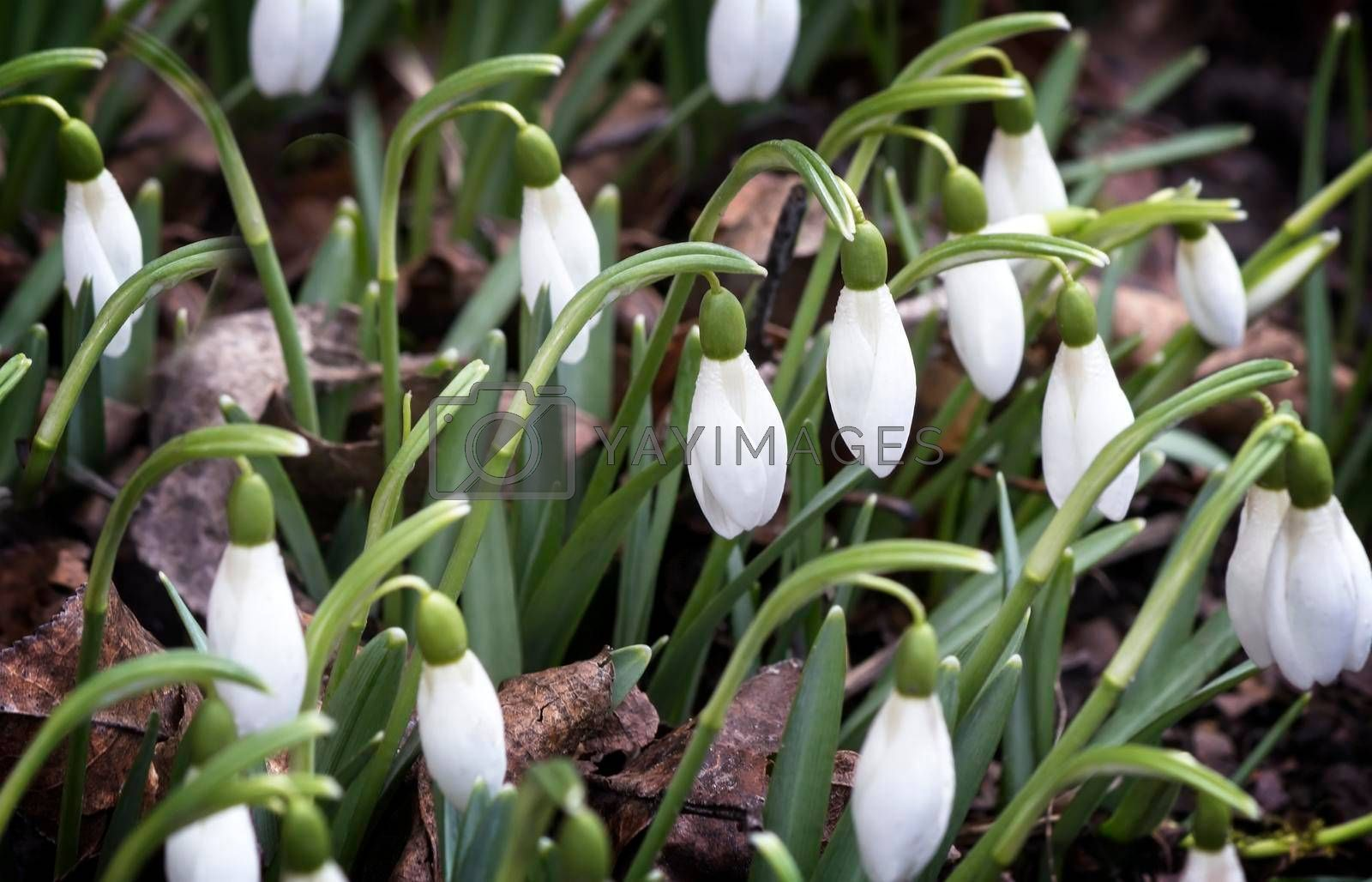 White flowers and buds of snowdrops among a green grass.
