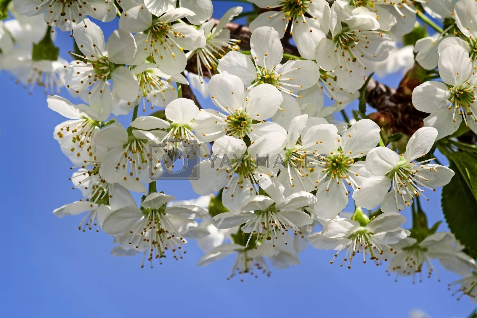 Cherry branch with a large number of white flowers against the blue sky.