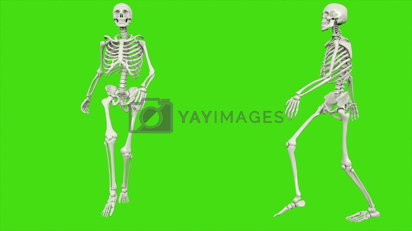 Skeleton walk on green screen. 3D rendering by designprojects