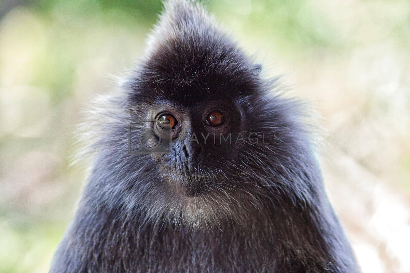 Black and white Surili monkey (Presbytis) - photographed in Borneo near Sandakan