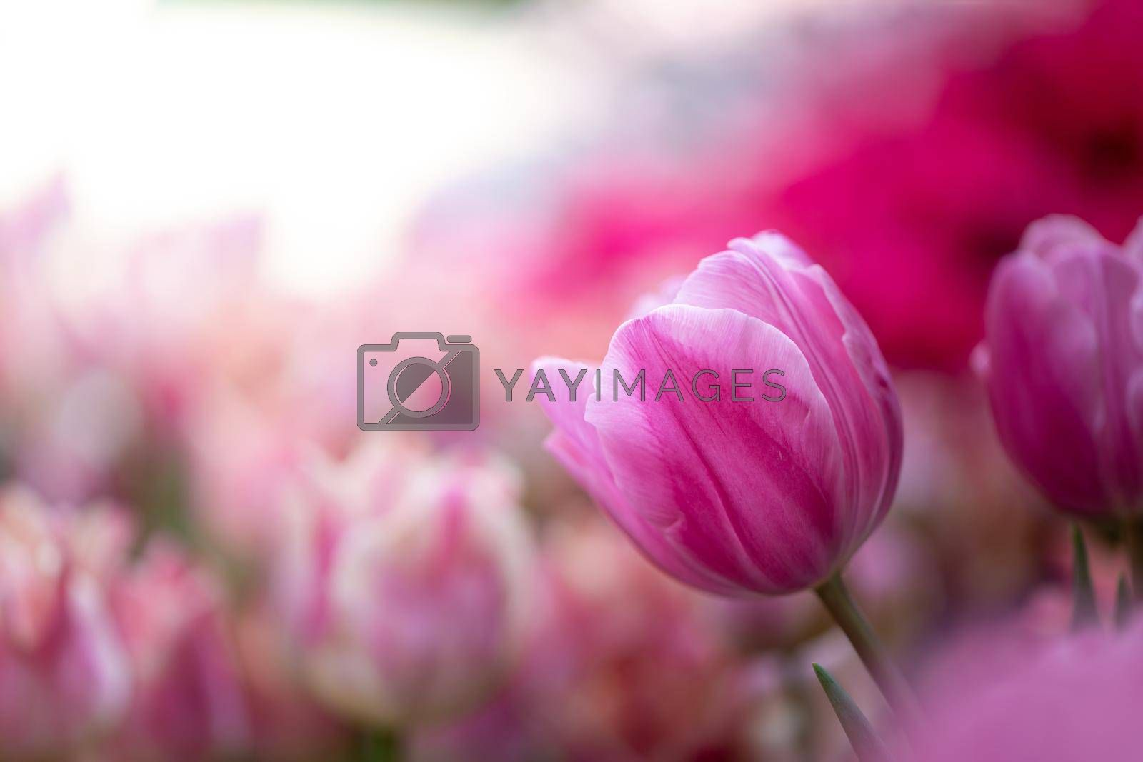 Beautiful bouquet of tulips. colorful tulips. nature background