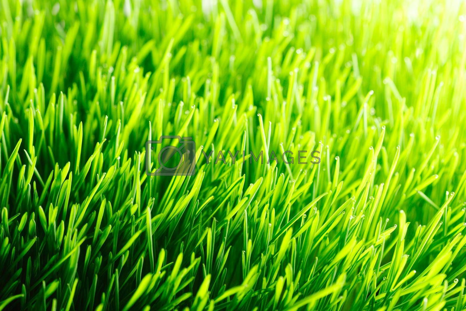 Green fresh summer grass meadow in sunlight close-up, sunny spring Background