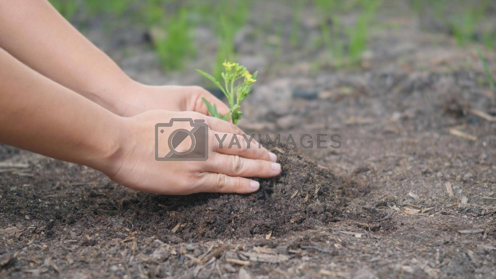 Woman two hand helping working planting seedlings growing young tree into the ground to dry soil on garden. Forestry environments ecology Earth Day concept