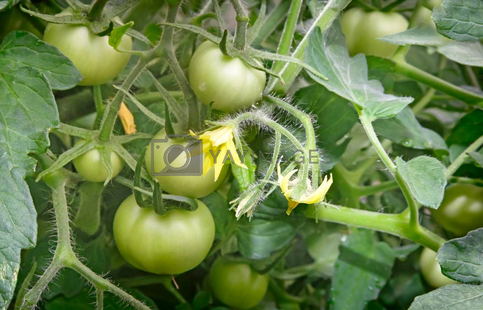 In the greenhouse on the branches of a tomato plant Matures a lot of green tomatoes.