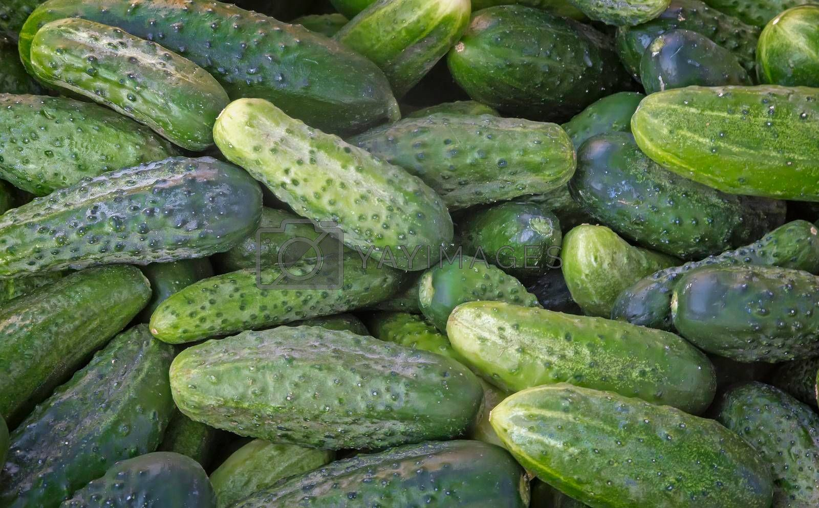Closeup presented in a large amount of fresh green cucumbers.