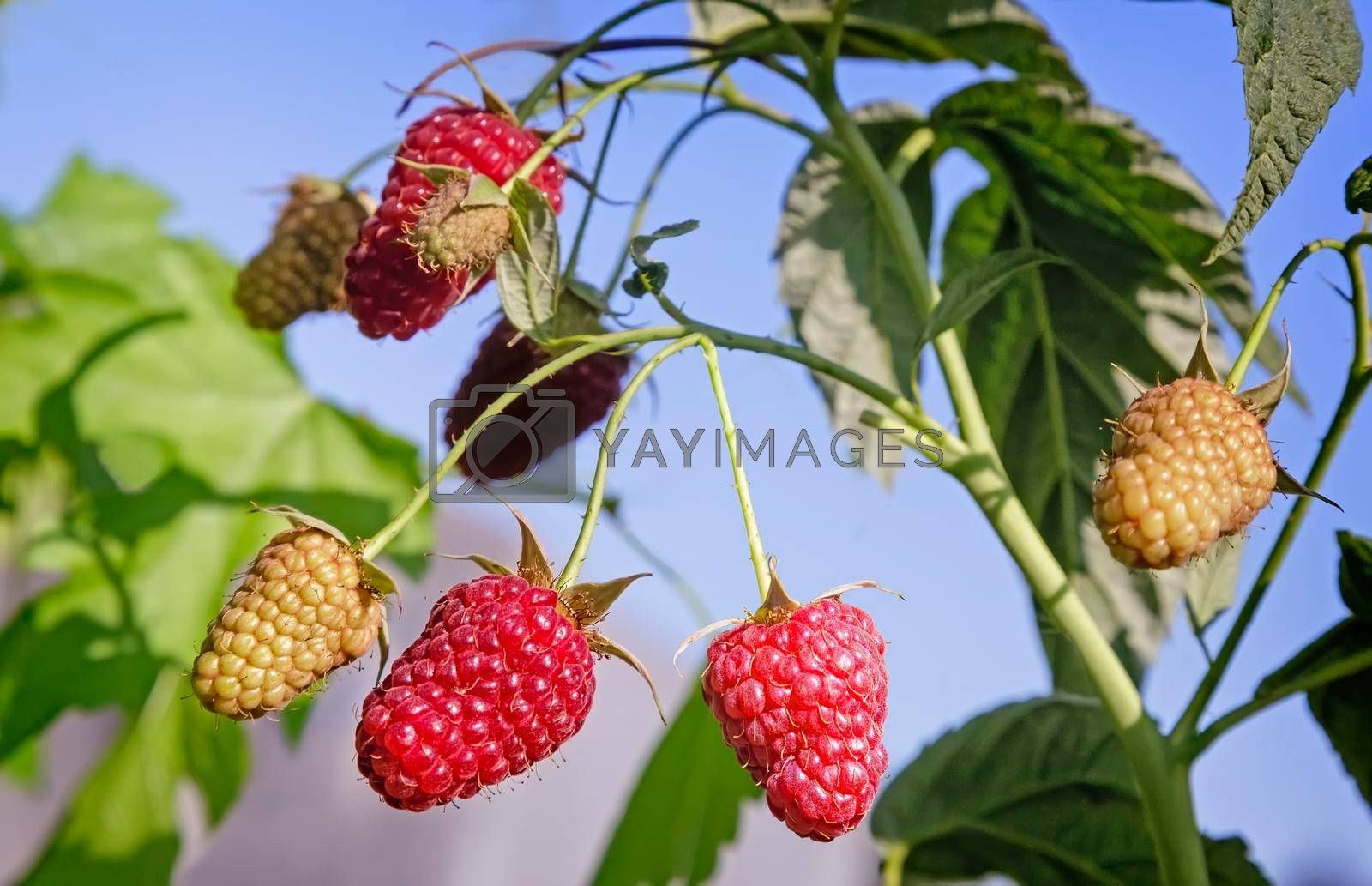 In the garden on the branches of the raspberries among green leaves.