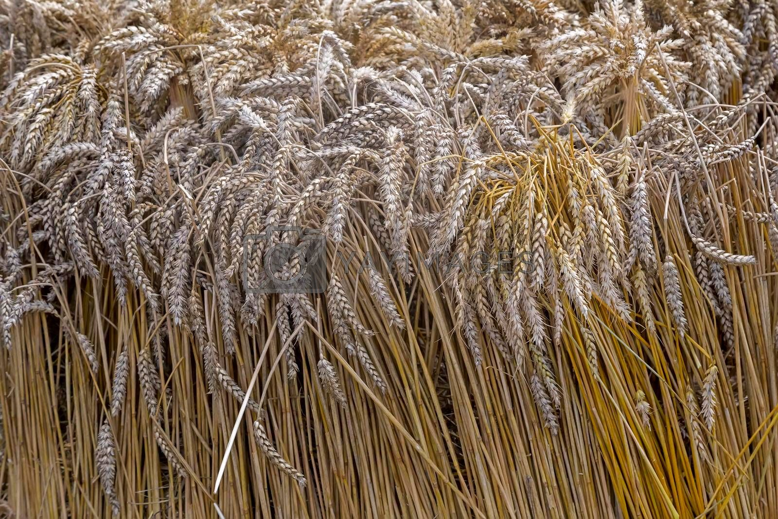 Ears of wheat with a stalk . Presented close-up.