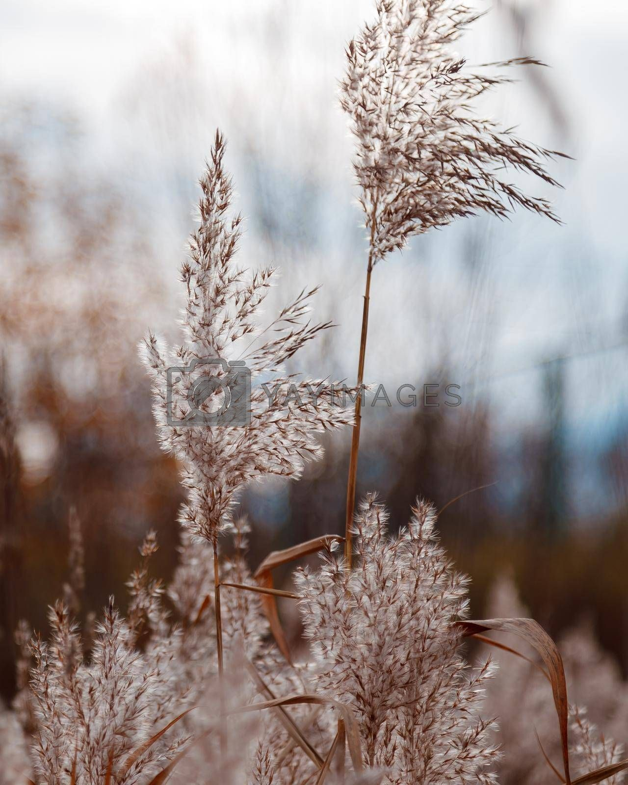 Spikelets of a fluffy plant in light pastel colors sway in the wind.