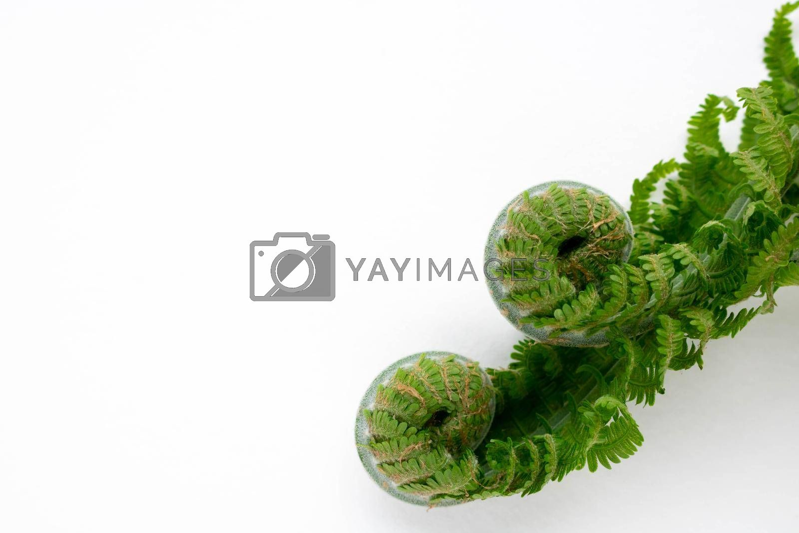 Two beautiful curls of young green fern on a white background. Place for the text.