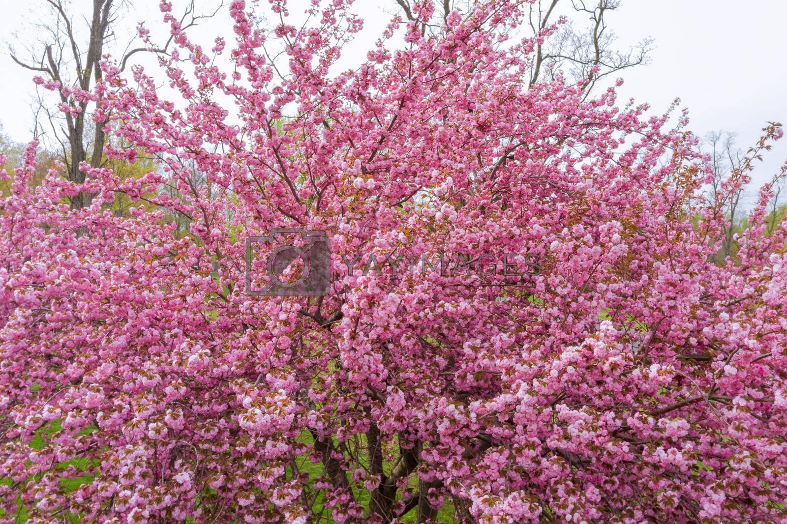 Sakura lovely Japan cherry blossom close up spring flower
