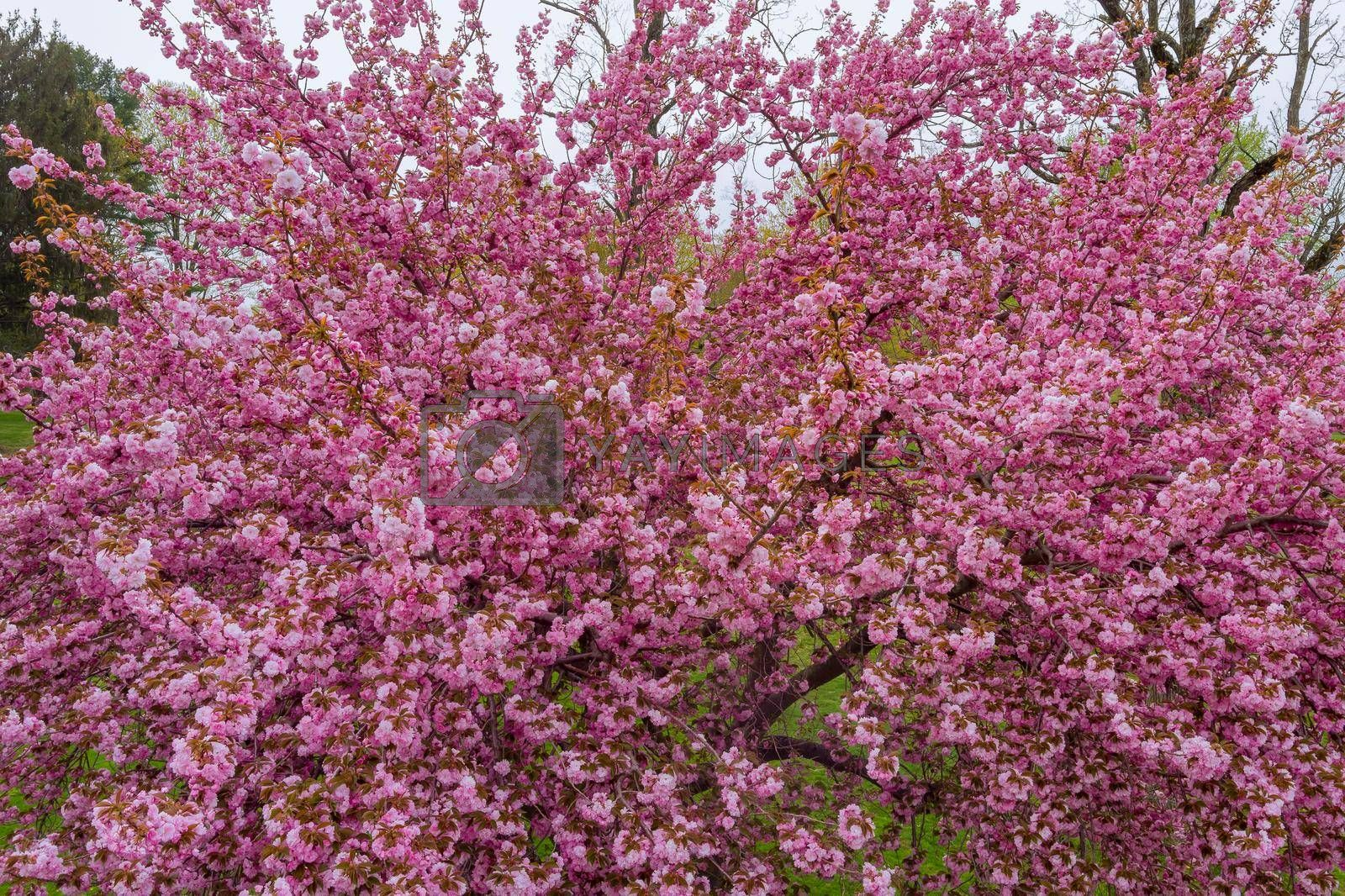 Background with flowers on beautiful flowering Japanese cherry Sakura a spring day