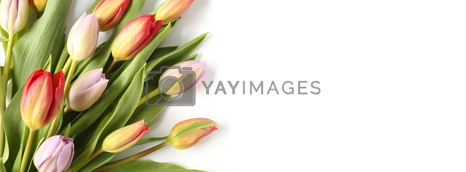 Elegant beautiful tulip flowers card on white background. Fresh bouquet of spring tulips over white. Spring, celebration, birthday, Mothers day, Women's Day, Easter, Valentines day, Horizontal