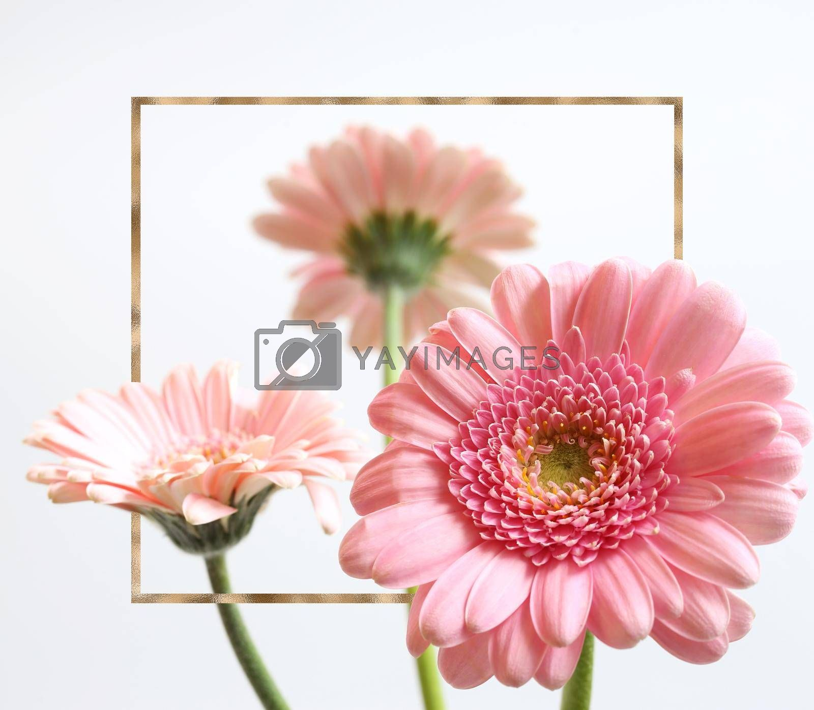 Beautiful pink flowers on white background. Bunch of spring summer gerbera flowers in gold frame.