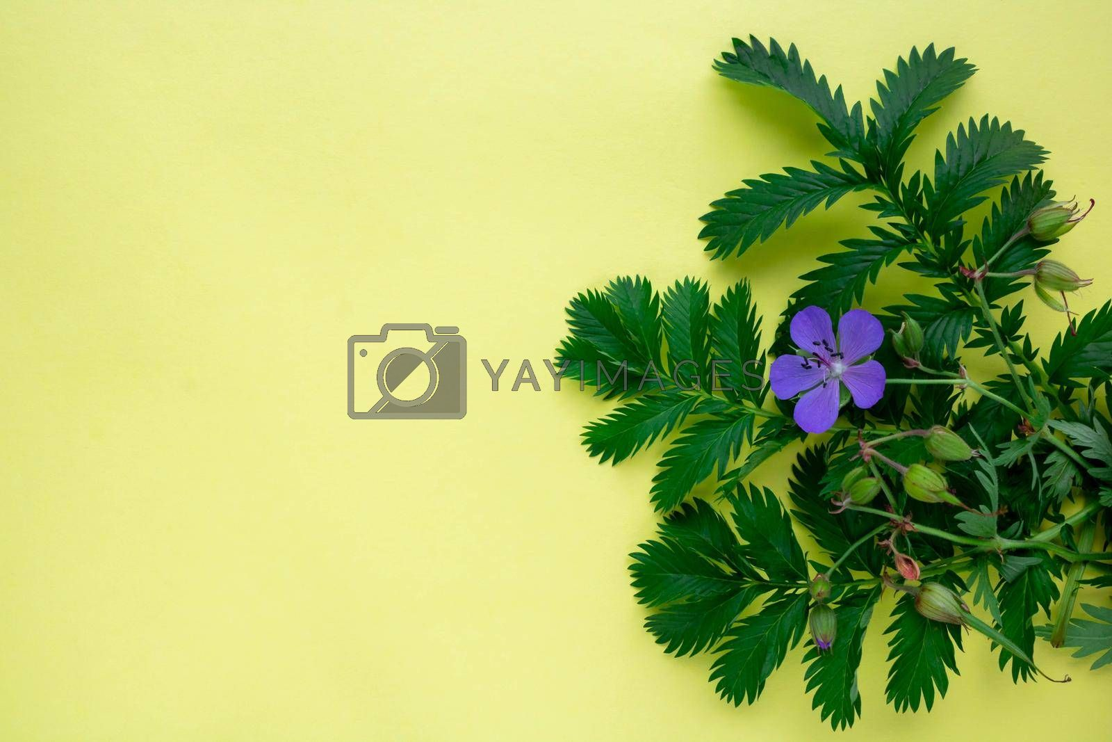 On a yellow background, the leaves of green grass lapchatki and a blue flower of meadow geranium.