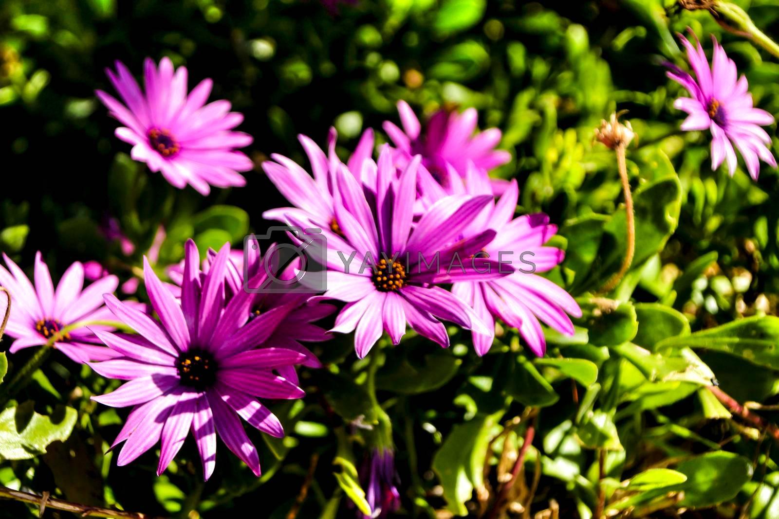 Beautiful dimorphoteca ecklonis flowers in the garden under the sun