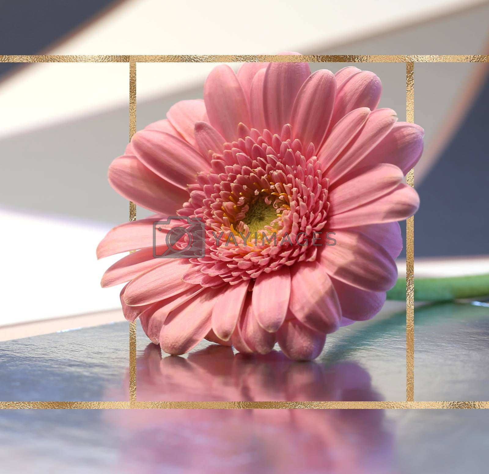 Beautiful pink flower on pastel background with golden frame. Spring summer gerbera flower on reflection background